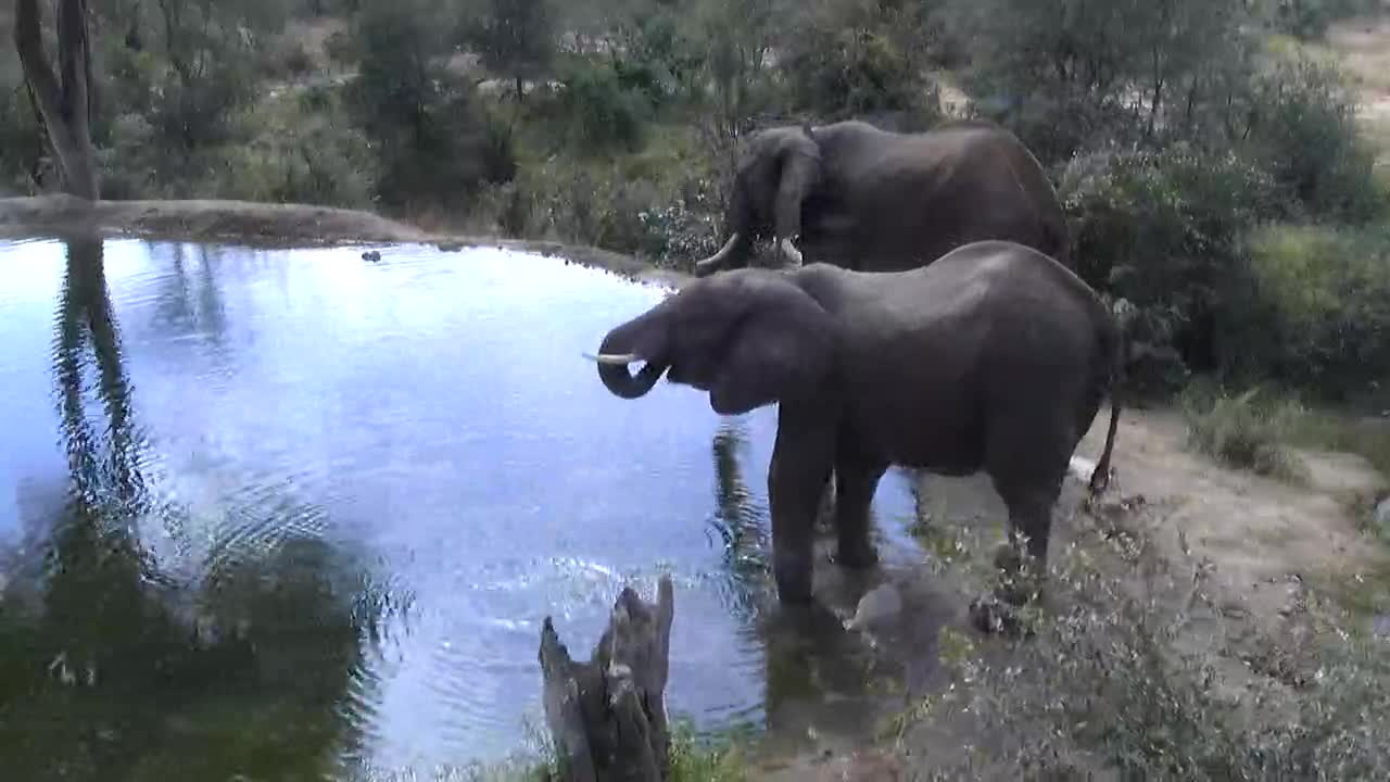 VIDEO: Elephants drinking at  the  waterhole and leaving.