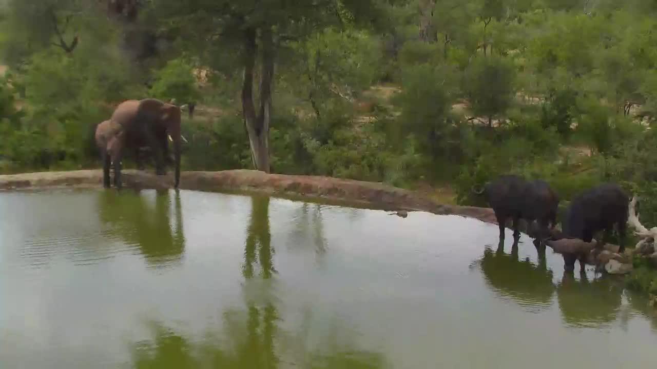 VIDEO:Elephants and Cape Buffalo together at waterhole Naledi