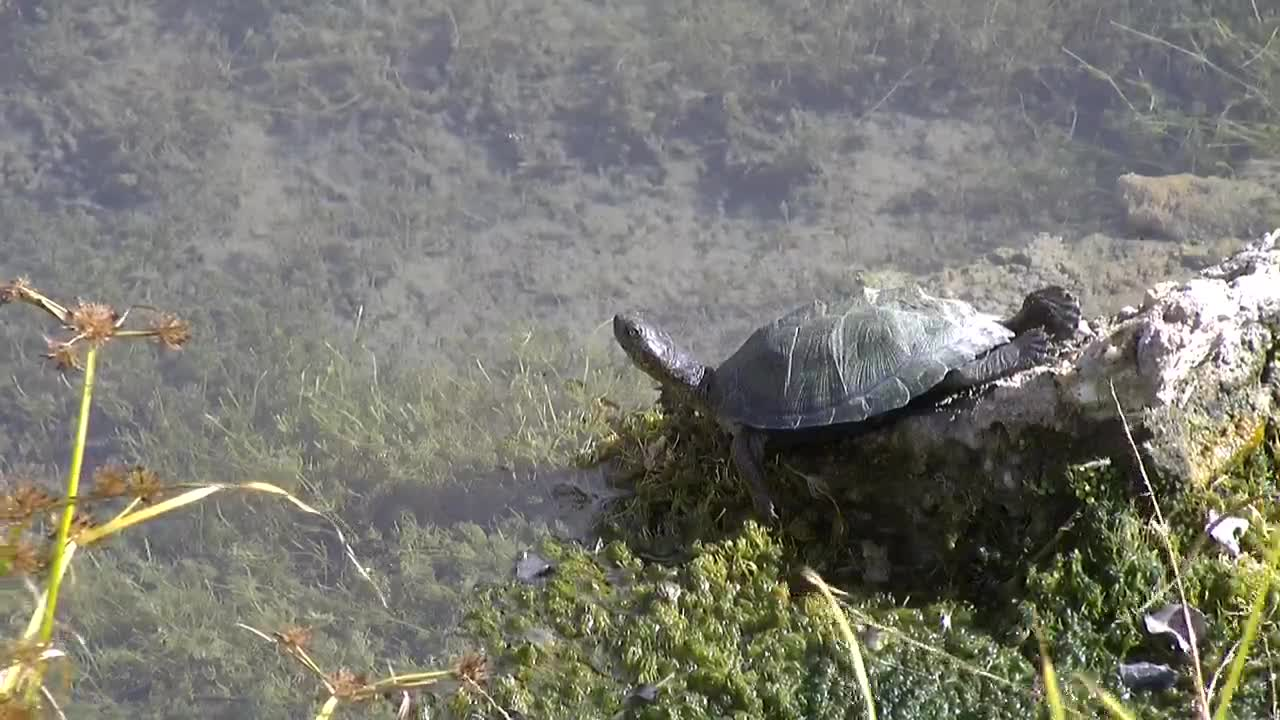 VIDEO: Terrapin resting, while Dragonflies passing by.