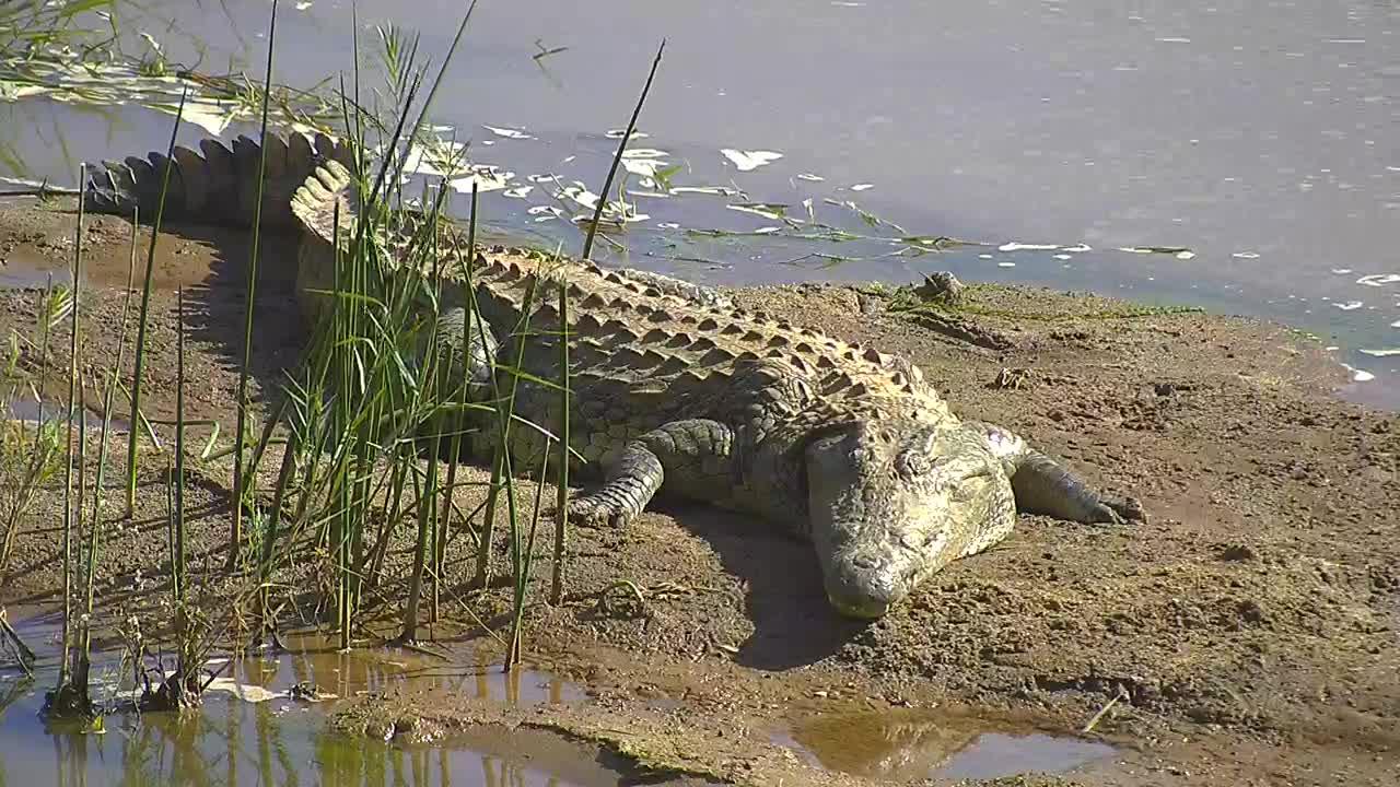 VIDEO: Crocodile  sleeping on  the sand bar.