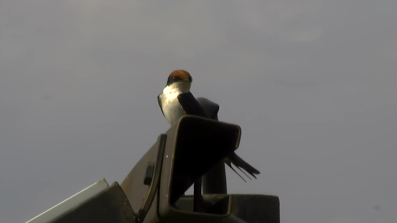 VIDEO:: Wire-tailed Swallow looking around