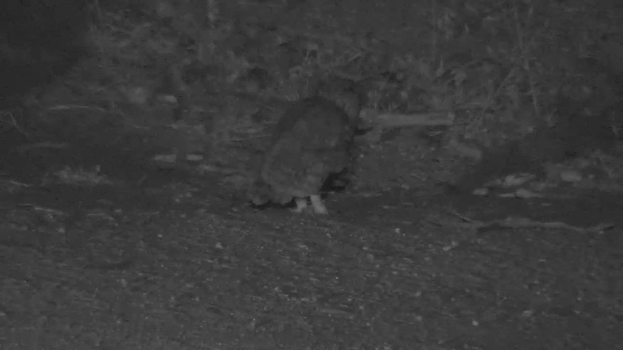 VIDEO: Owl eating