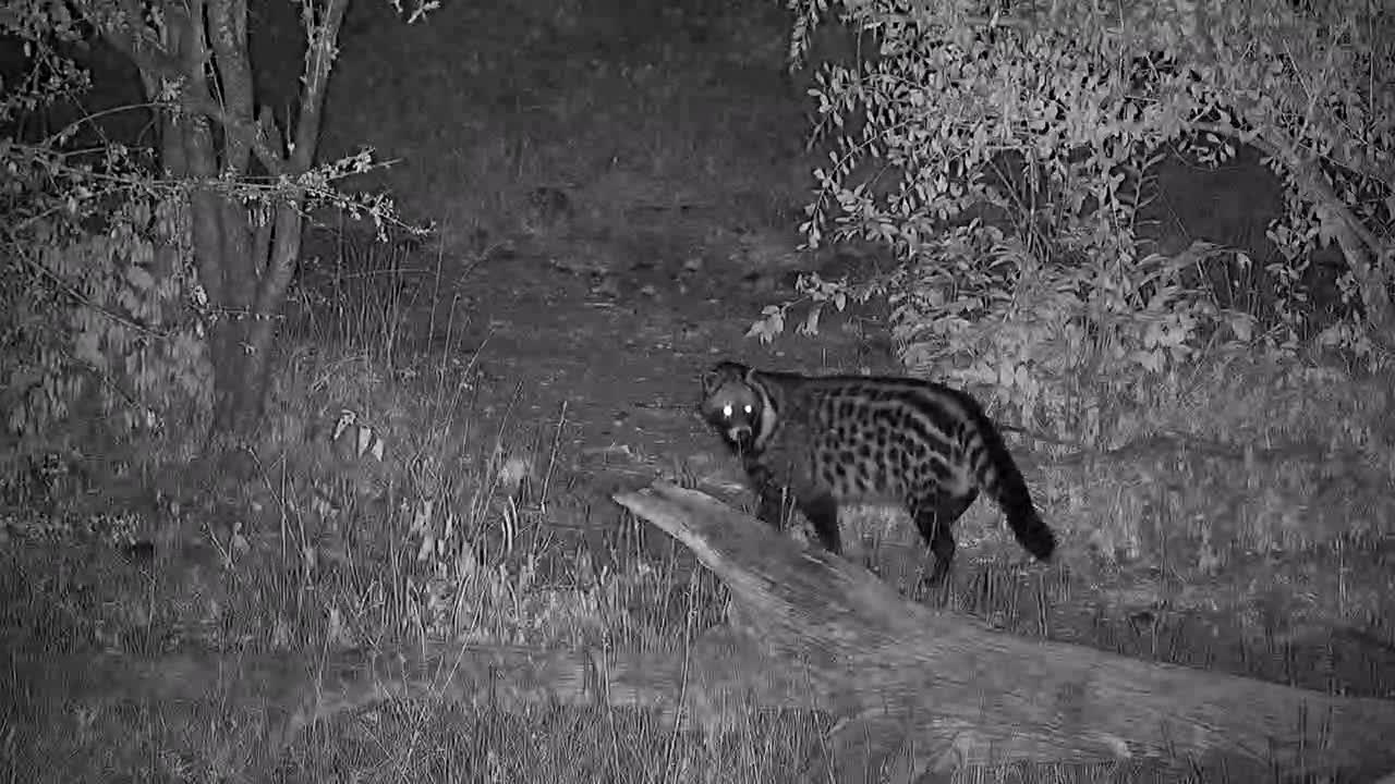 VIDEO:  Civet passing thru quickly