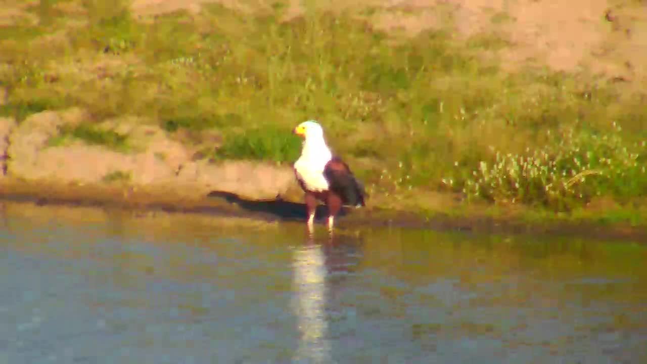 VIDEO: African Fish Eagle at waterside