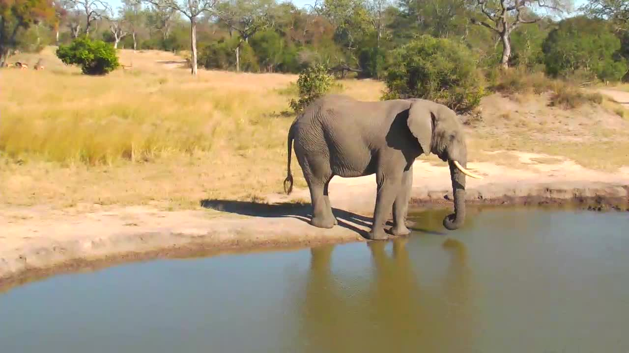VIDEO:  Elephant coming for a drink