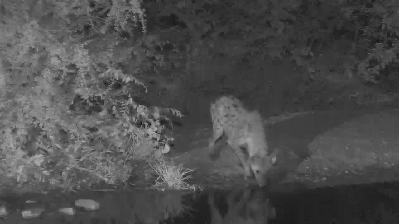 VIDEO:  Thirsty Hyaena