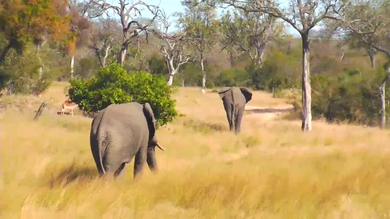 VIDEO:  Elephants playing with each other