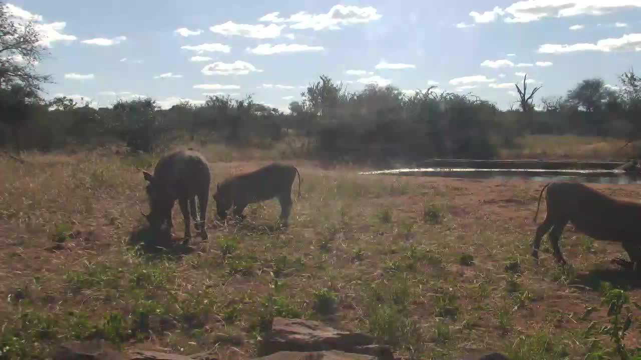 VIDEO:  Warthogs eating around the waterhole