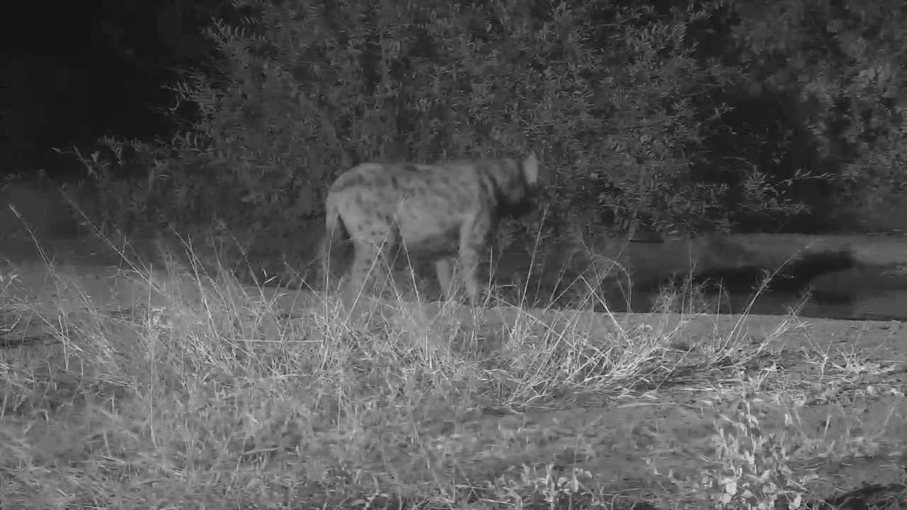 VIDEO:  Hyaena quick stop, drink and moving on