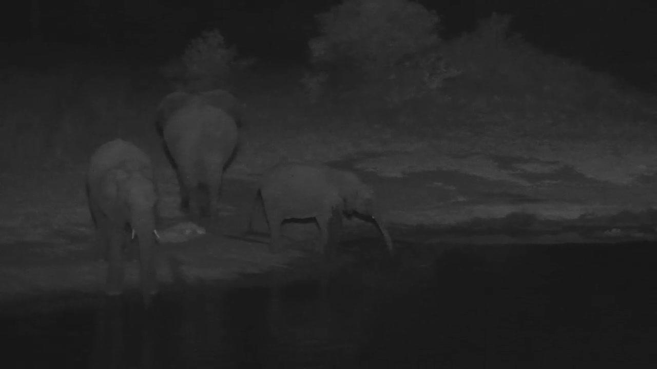 VIDEO:  Breeding Herd of Elephants having a drink