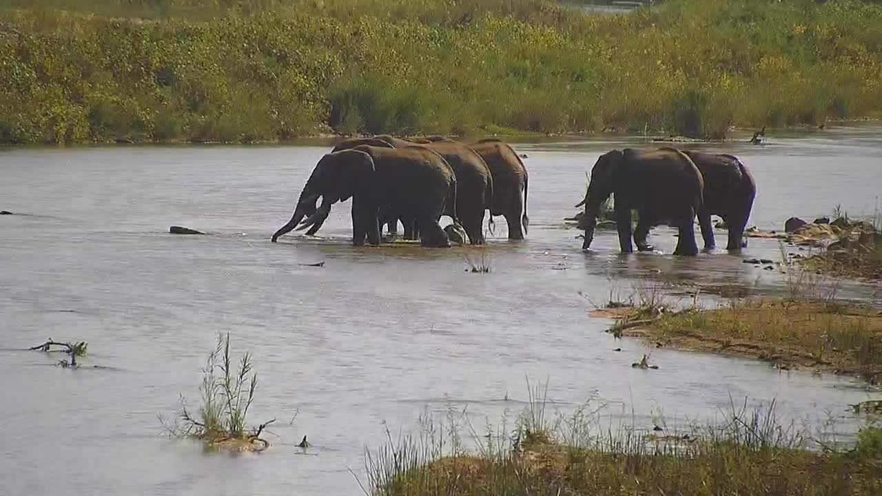 VIDEO: Elephants - a big tusker leads a group through the river
