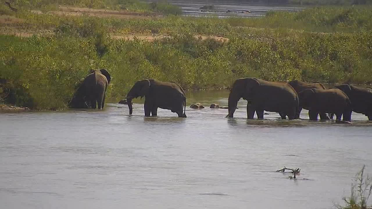 VIDEO: Elephants reach the other shore, enjoy the reeds and walk in the bushes