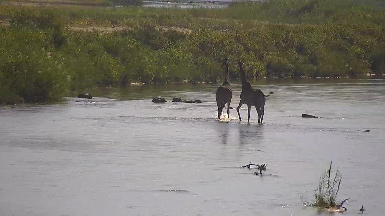 VIDEO: Giraffes cross the river and leave it in a hurry