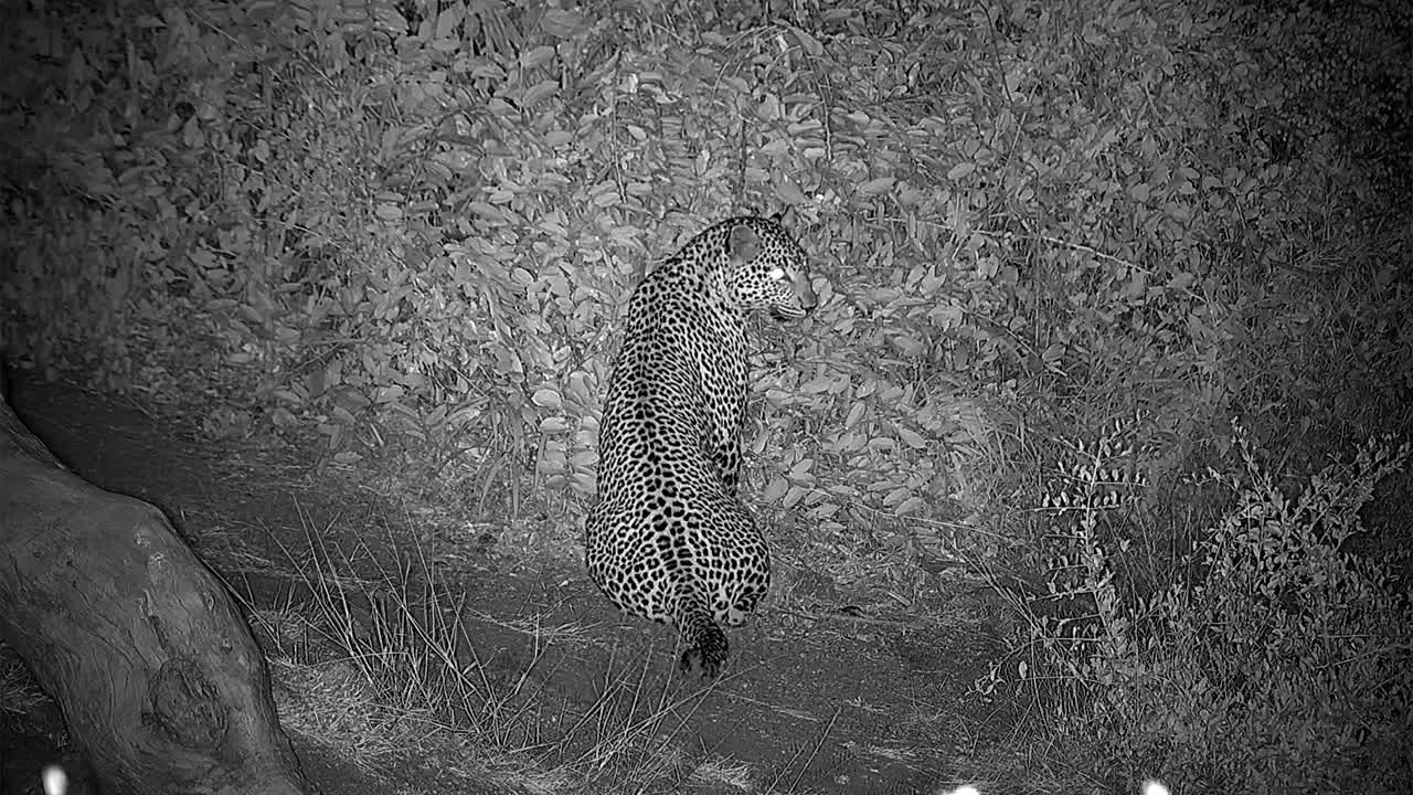 VIDEO: Leopard for a short visit