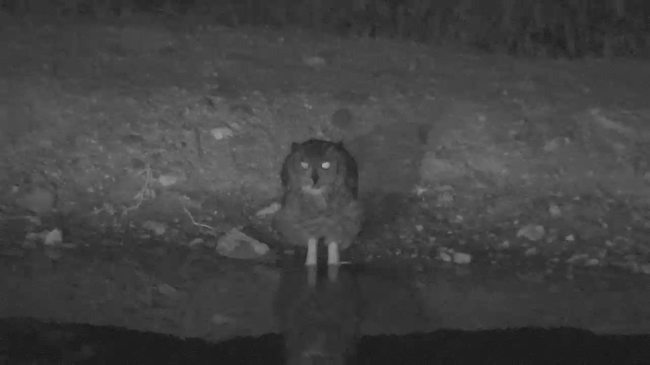 VIDEO:  GIANT EAGLE OWL having a drink before looking around