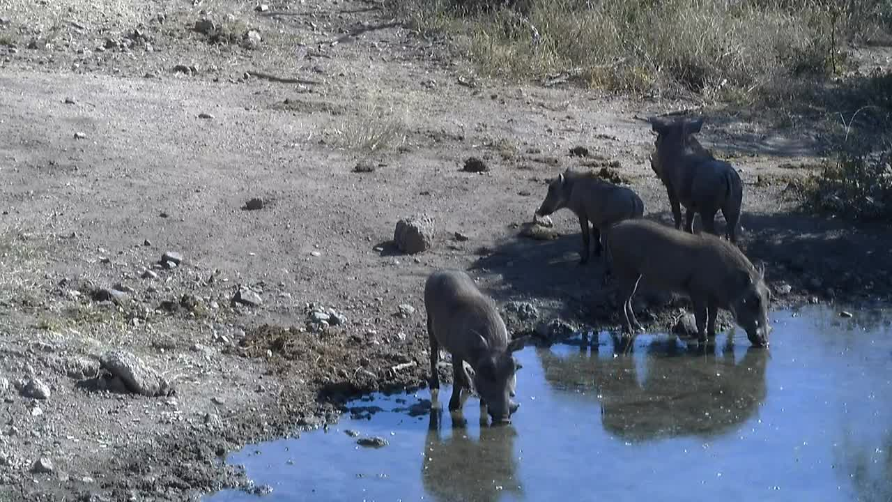 VIDEO:  Warthog family have a drink and bath
