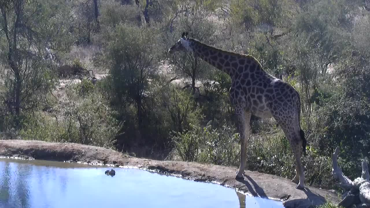 VIDEO:  Giraffe having a drink