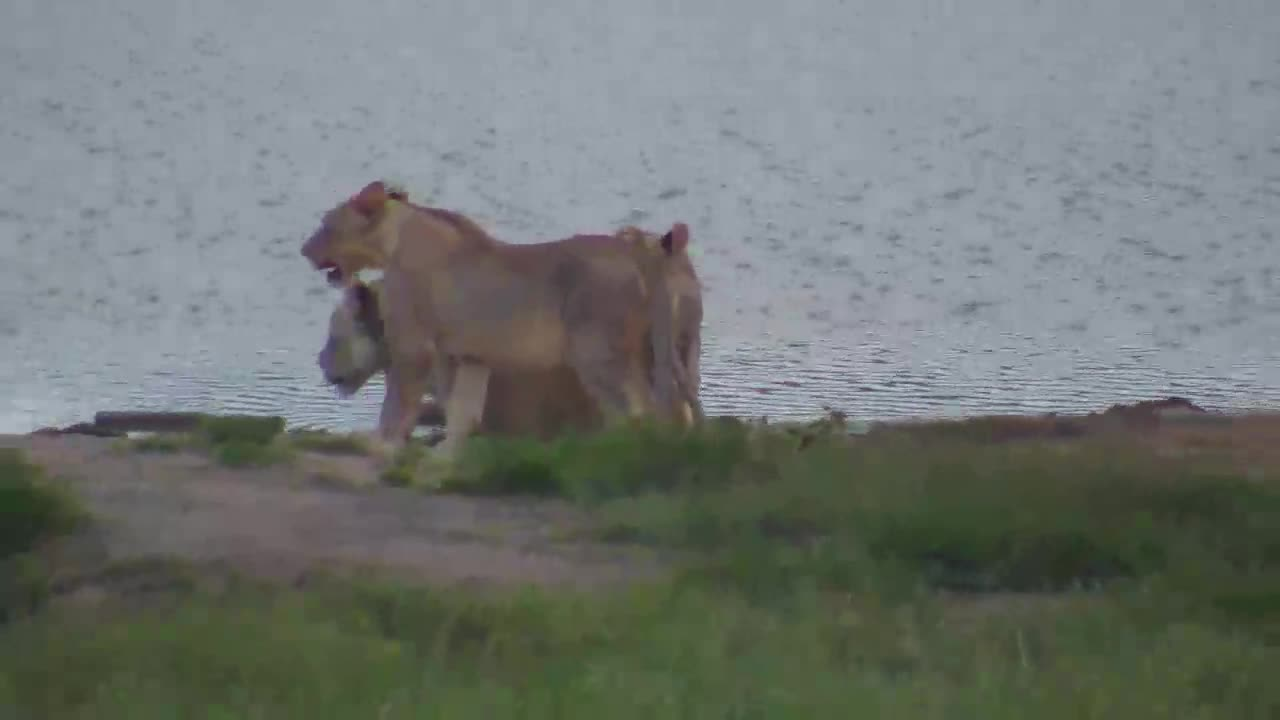 VIDEO:  Two Collared LIONESSES with cubs   Part 1 of 2