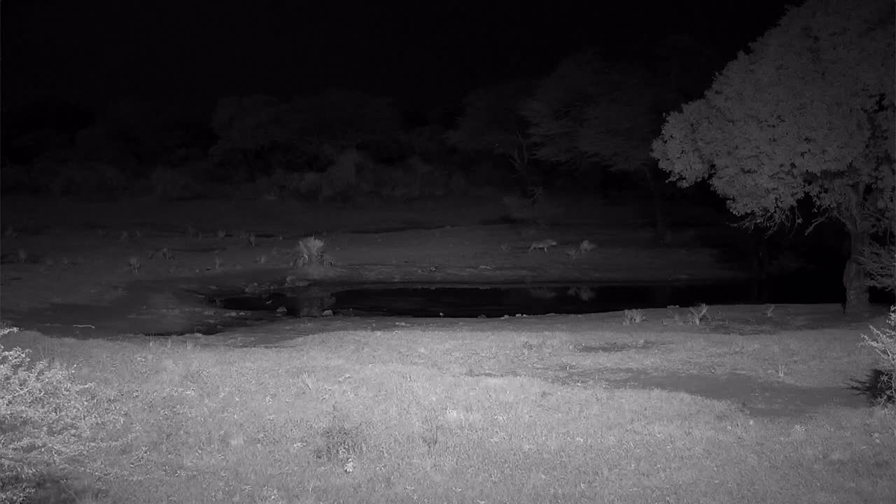 VIDEO: Lions at the waterhole with roaring
