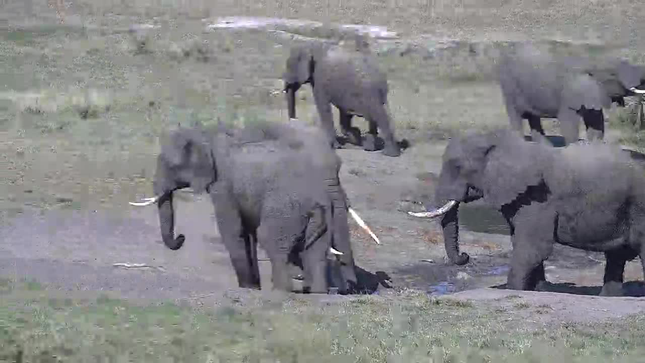 VIDEO: Elephants enjoy drinking and resting at the waterhole