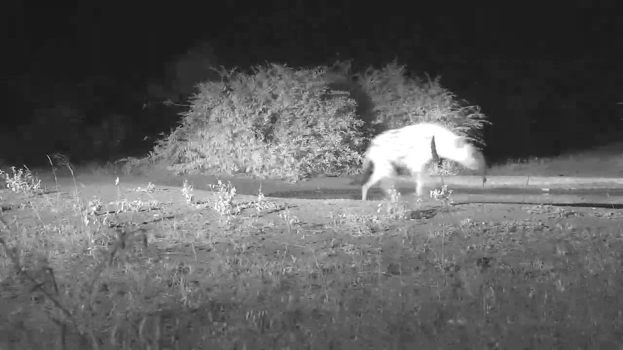 VIDEO:  Hyaena strolling through this fine night