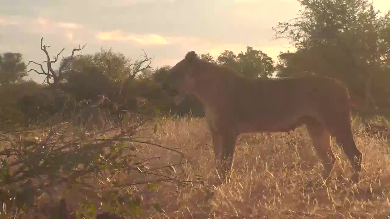 VIDEO:  Lion walking past cam with sunset in the background