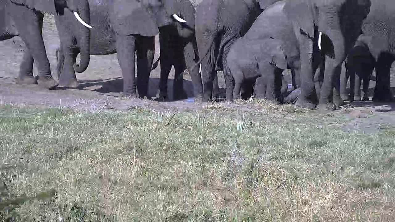 VIDEO: Breeding Herd of Elephants came for a drink to the waterhole