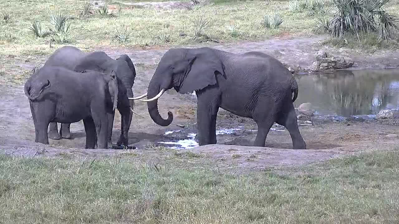 VIDEO: Elephants argue about fresh water
