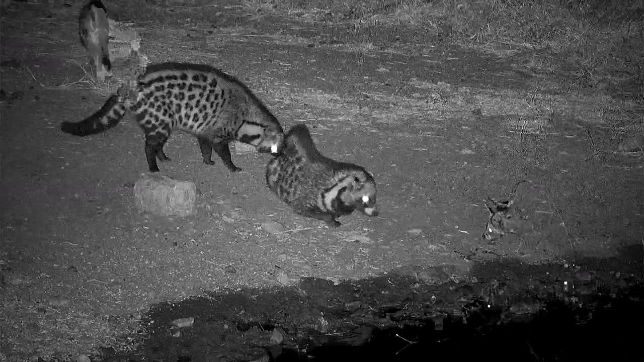 VIDEO: Two Civets meet at the waterhole