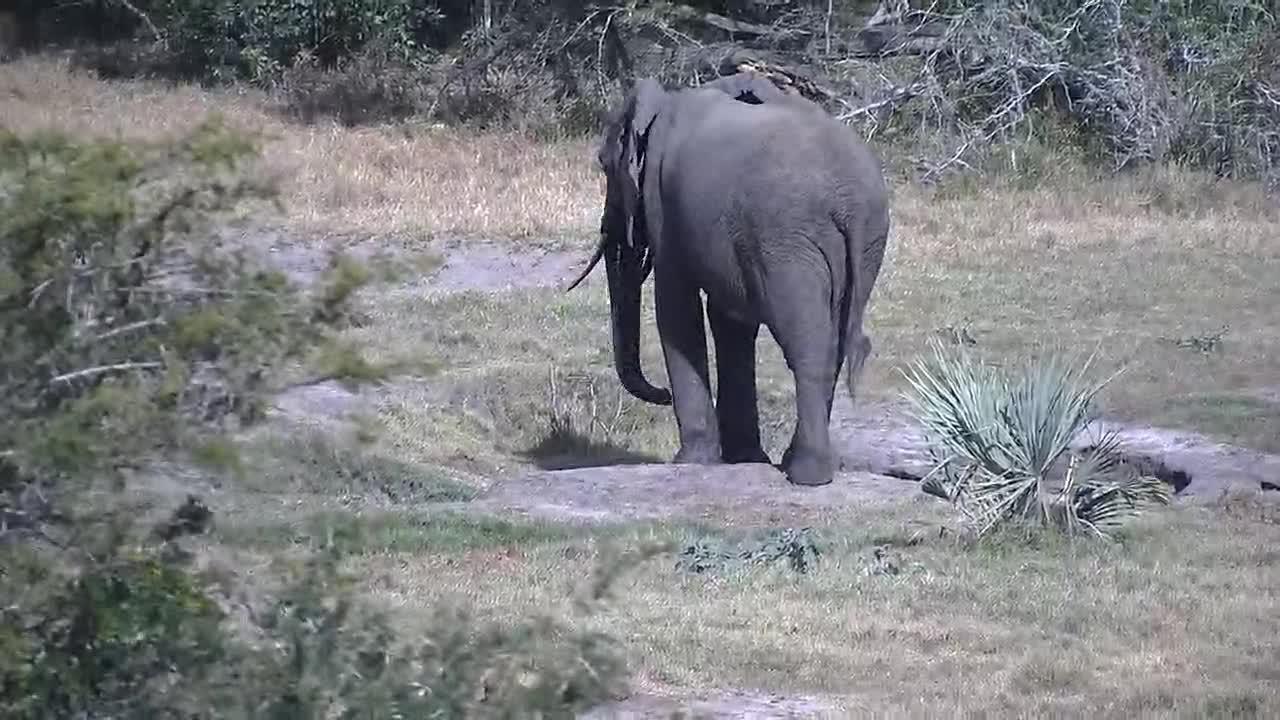 VIDEO: Elephant - very upset - chased away the Waterbucks