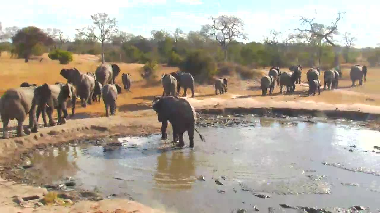 VIDEO: Breeding Herd of Elephants enjoy the water - drinking and bathing - and walk in a hurry to the lodge and returns in the other dirction