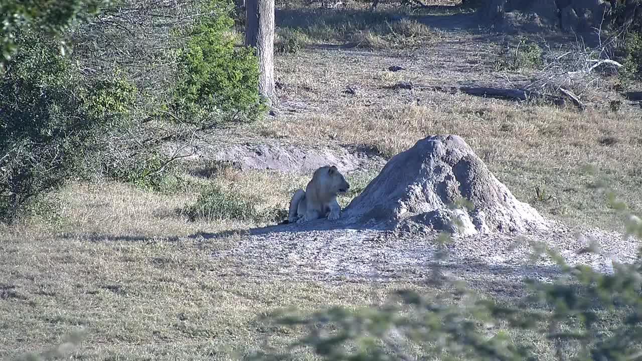 VIDEO:  Elephants disturbing Lions afternoon nap