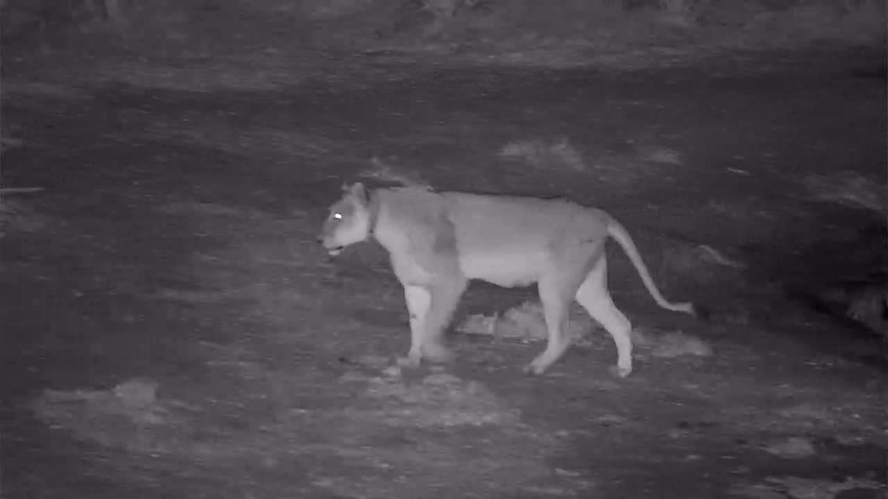 VIDEO:  Lion drinking at the waterhole