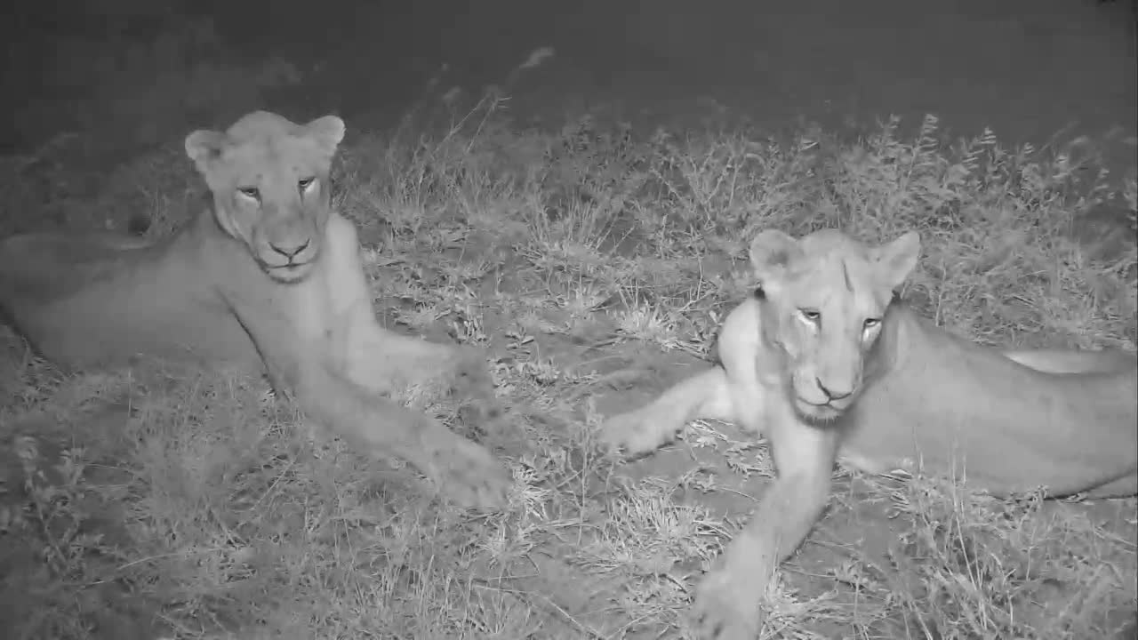 VIDEO:  Lady LIONESSES relaxing and smelling the air