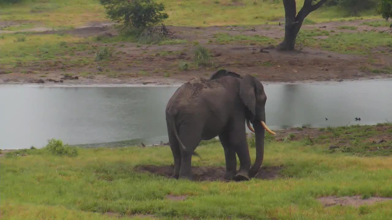 VIDEO:  ELEPHANT using his truck to throw mud on his back