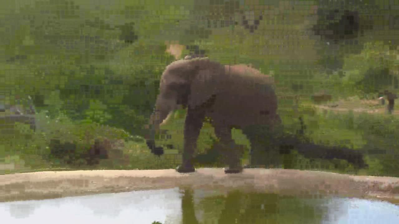 VIDEO:Elephant walking away