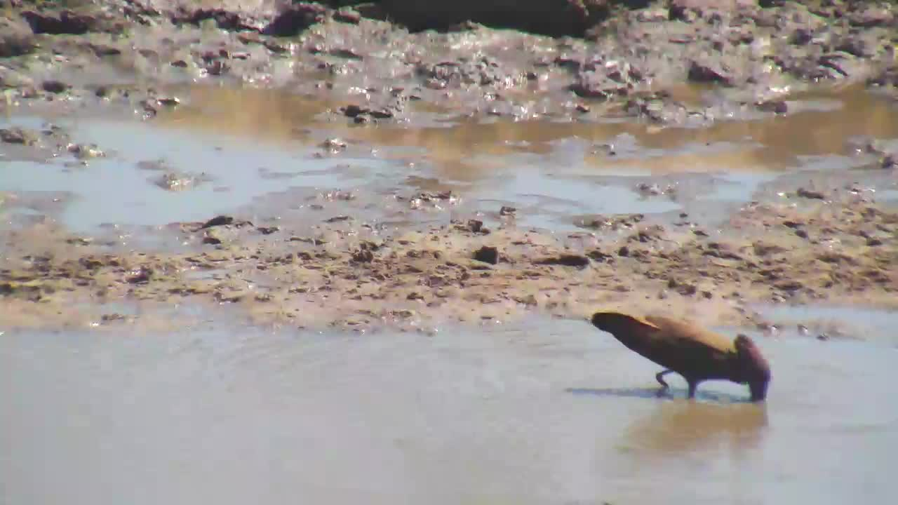 VIDEO:  Hamerkop catching a frog for lunch