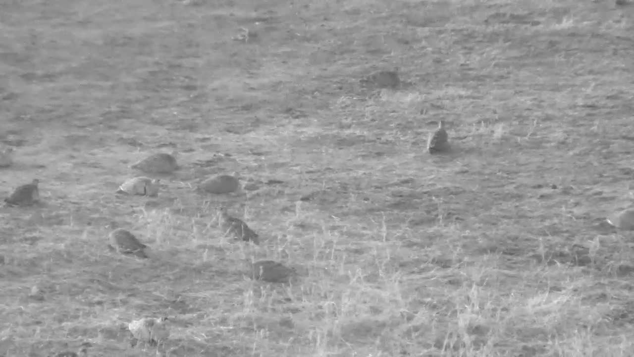 VIDEO: A flock of Double-banded Sandgrouse drinking and nearly covered the area next the waterhole