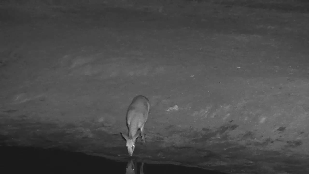 VIDEO: Very thirsty Duiker drinking at the waterhole