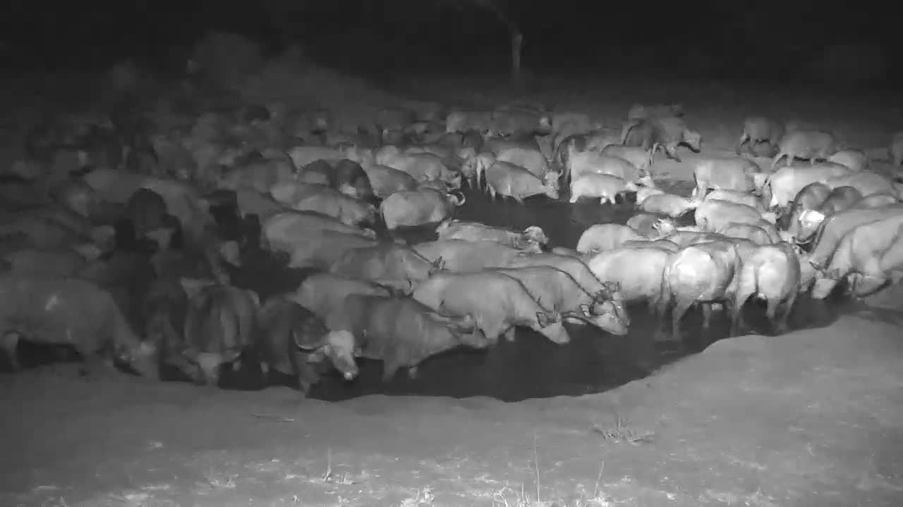 VIDEO: Huge Herd of Cape Buffalos cover the entire waterhole, and Blacksmith Lapwings are very upset