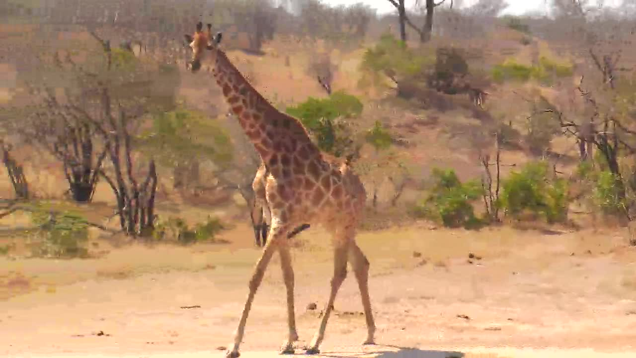 VIDEO:Journey of Giraffe coming for a drink