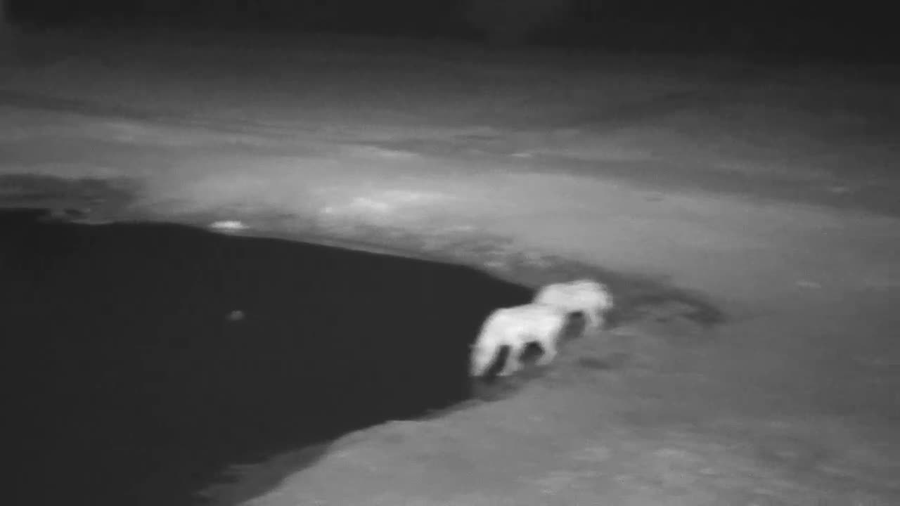 VIDEO: Hyaenas came for a short drink and run  into the dark