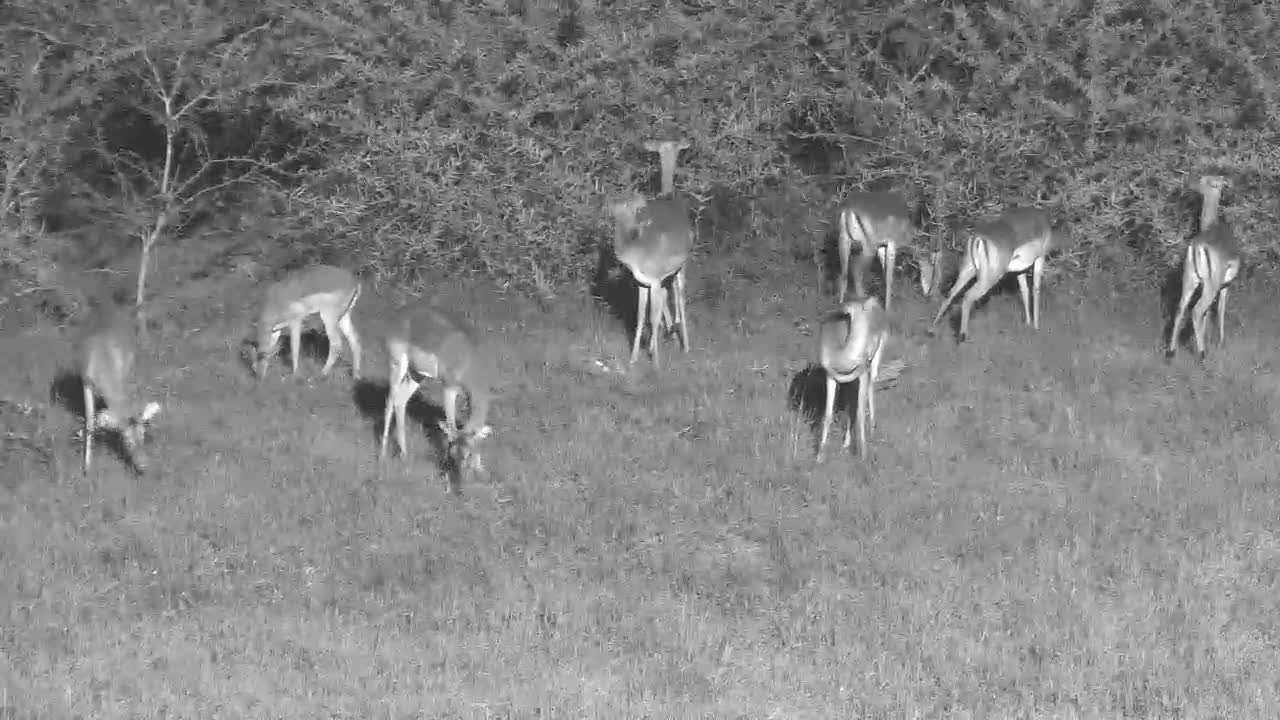VIDEO: Night-time Impalas Browsing and Grazing