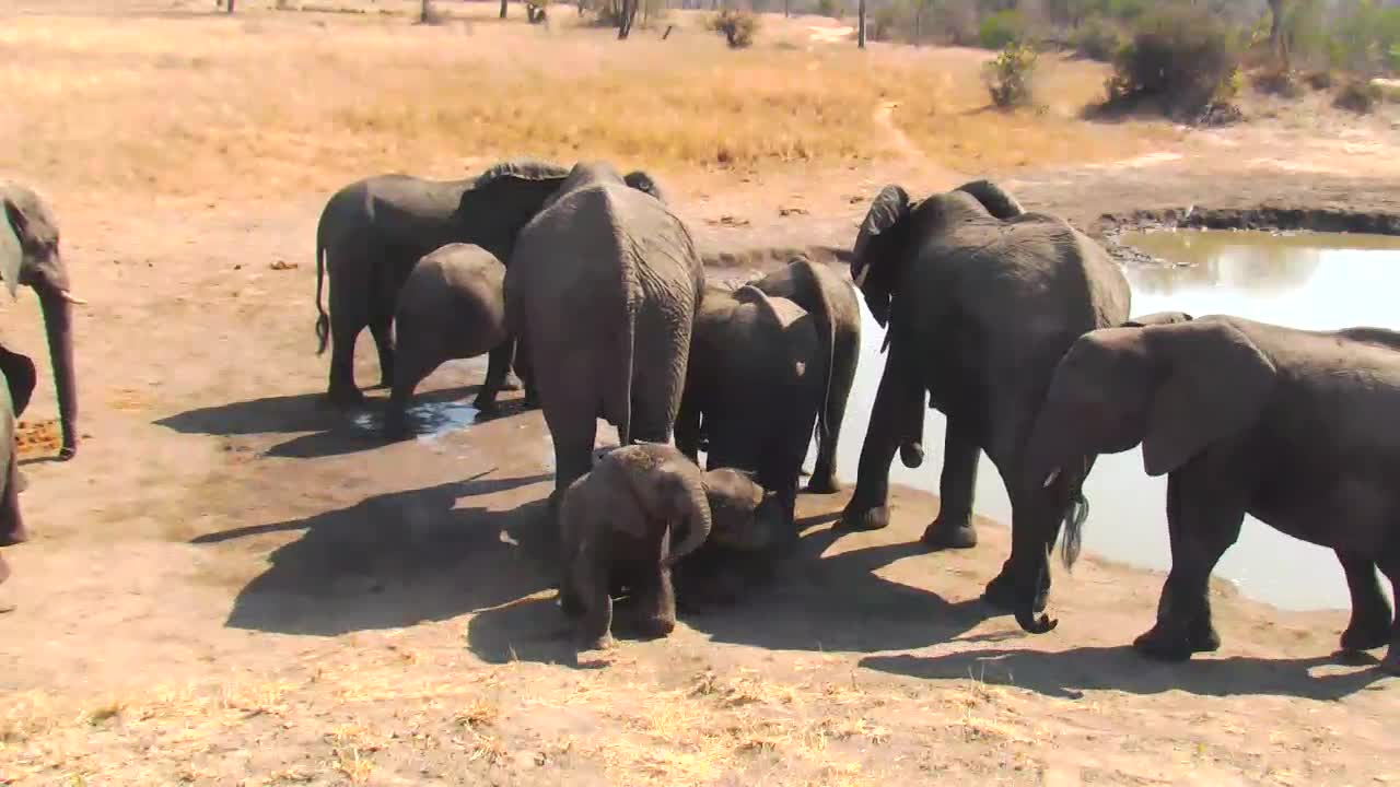 VIDEO:  Baby Elephants playing