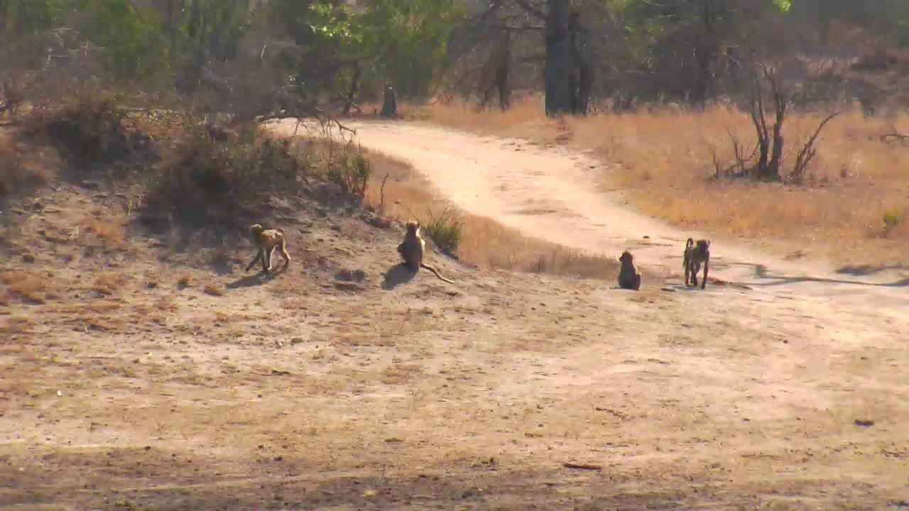 VIDEO: Troop of Baboons feeding and playing next the waterhole