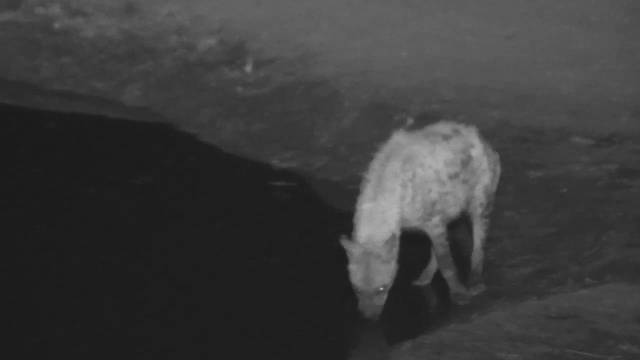VIDEO: Hyaenas came to the waterhole - one for a long drink the other only looking around and resting a bit