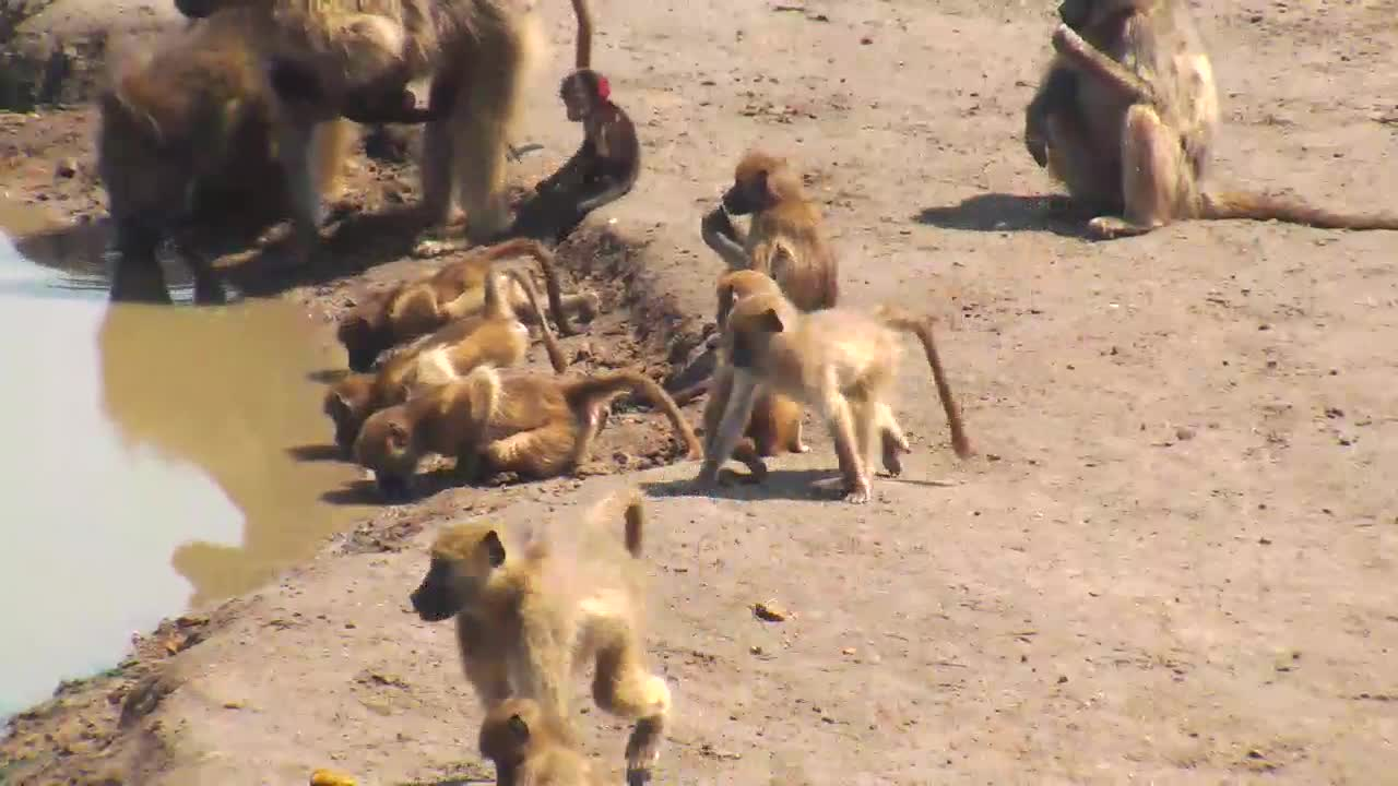 VIDEO: Troop of Baboons brought their babies for a good drink to the waterhole