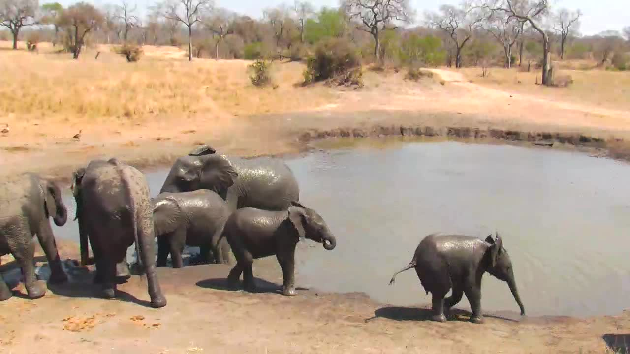 VIDEO: Breeding Herd of Elephants came for a drink to the waterhole - young ones wallowing in the water