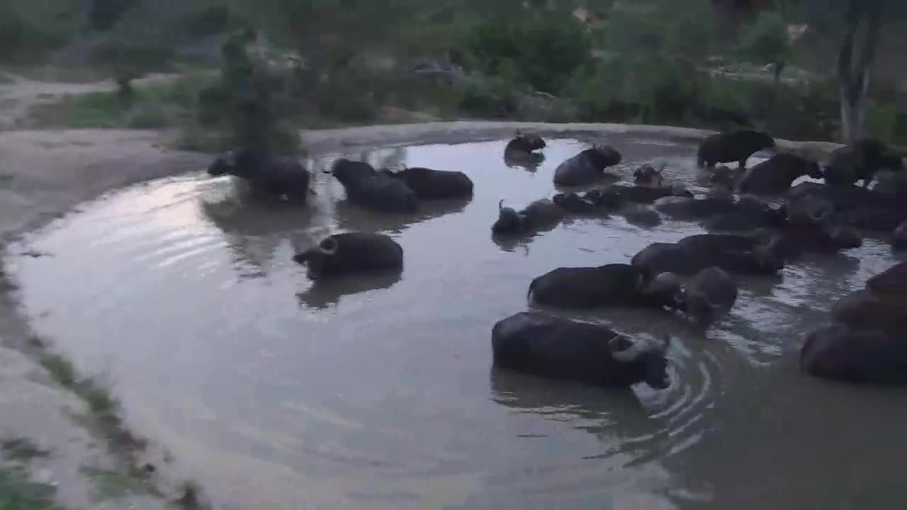 VIDEO: Cape Buffaloes leaving the waterhole