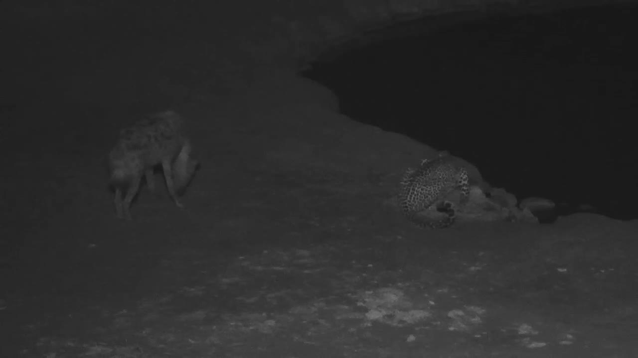 VIDEO:  Leopard drinks and ignores a Hyaena